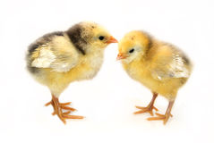 Two little chickens. Isolated in white Royalty Free Stock Images