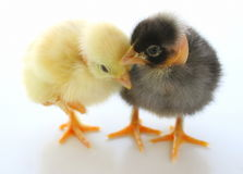 Two Little Chickens Stock Photo