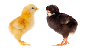 Two little chickens of different colors Stock Photos