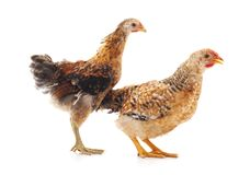 Two little chickens. Two little chickens on a white background royalty free stock photography