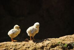 Two little chicks stands on the ground. Royalty Free Stock Photos