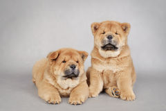 Two  little Chow chow  puppies. Portrait Royalty Free Stock Photos