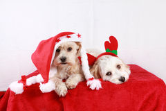 Two little christmas dogs Royalty Free Stock Photos