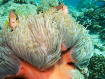 Clown Fish. Two little clown fish with her anemone Stock Image