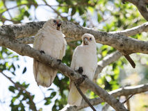 Two Little Corellas (Cacatua sanguinea) Royalty Free Stock Images