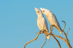 Two Little Corellas Stock Images