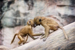 Two little cubs of Guinea baboon are playing on the tree trunk Royalty Free Stock Photography