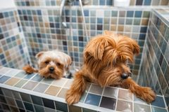 Two little cute and beautiful purebred Yorkshire Terrier dogs they`re trying to escape from the bathtub because they don`t want to. Bathing selective focus royalty free stock photo