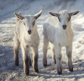 Two little cute goats are standing in the snow royalty free stock images