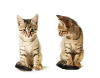 Two Little cute grey striped kittens isolated on white background. Domestic pet close-up. Royalty Free Stock Image