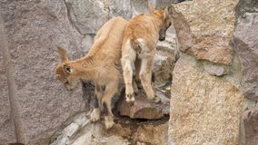Two little cute mountain newborn goats goatlings playing on rocks jumping having fun.  stock video footage