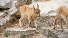 Two little cute mountain newborn goats goatlings playing on rocks jumping having fun.  stock footage