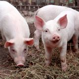 Two little cute pigs on the farm. royalty free stock photos