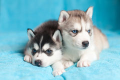 Two puppies Husky Royalty Free Stock Photos
