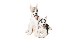Two little cute puppy of Siberian husky dog with blue eyes isolated Stock Images