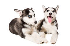 Two little cute puppy of Siberian husky dog with blue eyes isolated Royalty Free Stock Photography