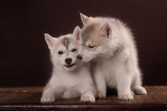 Two Little cute puppy of Siberian husky dog. In studio over brown Stock Photos
