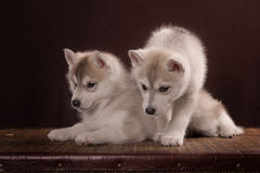 Two Little cute puppy of Siberian husky dog. In studio over brown Royalty Free Stock Photo