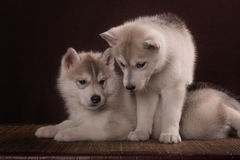 Two Little cute puppy of Siberian husky dog. In studio over brown Stock Image