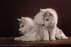 Two Little cute puppy of Siberian husky dog. In studio over brown Royalty Free Stock Images