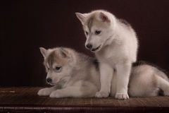 Two Little cute puppy of Siberian husky dog Royalty Free Stock Images