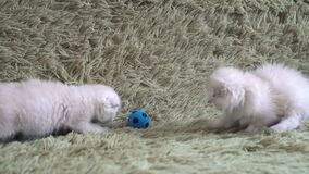 Two little cute white kitten playing football.  stock video footage