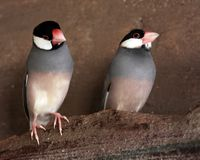 Two Little Dicky Birds Sitting on a Wall Stock Photo