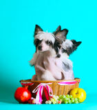 Two little dog in a basket and fruit. Chinese crested dog. Stock Photo