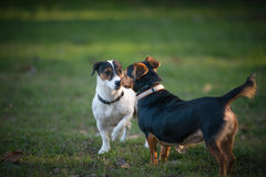Two little dog Royalty Free Stock Images