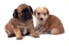 Two little dogs Stock Photography