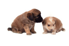 Two little dogs. Two little cute dogs, isolated on white background royalty free stock images