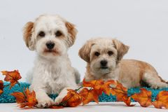 Two little dogs portrait. Two little dogs with autumn decoration in the studio Stock Photography