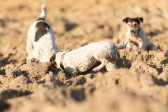 Two  little dogs are digging  hole - Jack Russell Terrier. Hounds are  4  and 12 years old. Two  little  cute dogs are digging  hole - Jack Russell Terrier stock photography