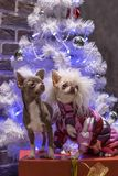 Two little dogs meet the New Year holiday. royalty free stock photography