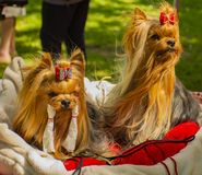 Two little dogs on the pillow.  royalty free stock images