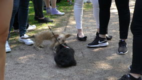 Two little dogs are playing in the city Park. stock video footage