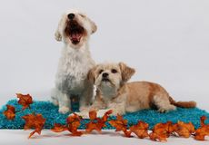 Two little dogs portrait. Two little dogs with autumn decoration Stock Image