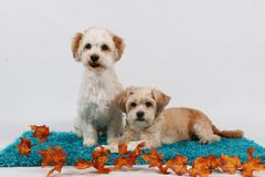 Two little dogs portrait. Two little dogs with autumn decoration in the studio Stock Photos