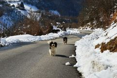 Little dogs on the road. Two little dogs on the road royalty free stock images