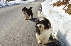 Little dogs on the road. Two little dogs on the road royalty free stock image