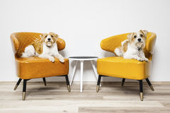Two little dogs sitting on armchairs. An image of two little dogs sitting on armchairs stock image