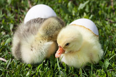 Two little domestic gosling with broken egg in green grass.  Royalty Free Stock Photography