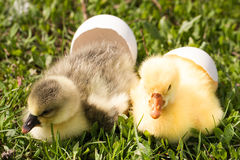 Two little domestic gosling with broken egg in green grass.  Royalty Free Stock Photo
