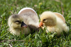 Two little domestic gosling with broken egg in green grass.  Royalty Free Stock Image