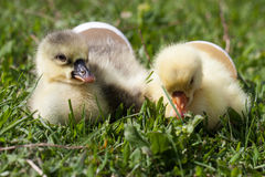 Two little domestic gosling with broken egg in green grass.  Stock Photo