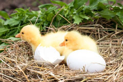 Two little domestic gosling with broken eggshell and eggs in straw nest.  Royalty Free Stock Photos