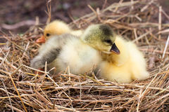 Two little domestic gosling in straw nest.  Royalty Free Stock Photos