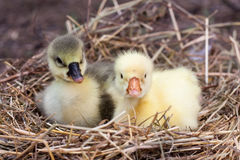 Two little domestic gosling in straw nest.  Stock Images
