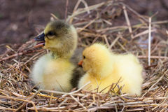 Two little domestic gosling in straw nest.  Stock Photography