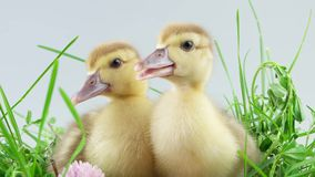 Two little duckling closeup sitting in grass stock footage